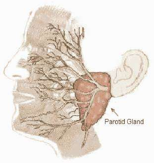 parotidectomy parotid anatomy